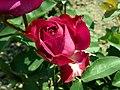 Rosa Heidi Klum Rose 2019-06-05 7603.jpg