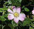 Rosa rubiginosa inflorescence (16).jpg