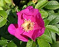 Rosa rugosa and Hoverfly - geograph.org.uk - 938655.jpg