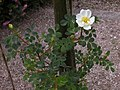 Rosa spinosissima inflorescence (75).jpg
