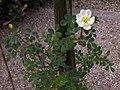 Rosa spinosissima inflorescence (75).jpg