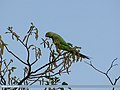 Rose-ringed Parakeet (Psittacula krameri) (15274071353).jpg
