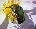 Rose Chafer Cetonia aurata (44075627215).jpg