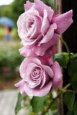 Rose Charles de Gaulle バラ シャルルドゥゴール (6901293673).jpg