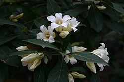 Rothmannia globosa00.jpg