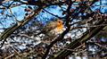 Rouge-gorge dans un arbre en hiver.jpg