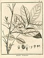 Rourea frutescens Aublet 1775 pl 187.jpg