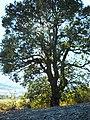 Roverella monumentale nell'agro di Petrella Tifernina.jpg
