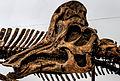Royal Ontario Corythosaurus.jpg