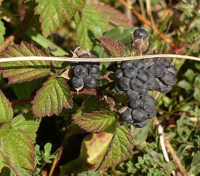 File:Rubus caesius.jpg
