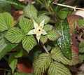 Rubus hirsutus (fruits s3).jpg