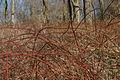 Rubus phoenicolasius 5449895.jpg