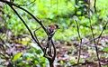 Rufous treepie 01.jpg