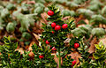 Ruscus aculeatus 'John Redmond'. Locatie, Tuinreservaat Jonkervallei 04.jpg