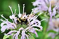 Rusty Patched Bumble Bee on Wild Bergamot (41705320050).jpg