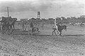 SETTLERS BRINGING BUILDING MATERIALS ON CAMELBACK TO MOSHAV KFAR VITKIN. גמל נושא על גבו חומרי בנייה במושב כפר ויתקין בשרון.D28-104.jpg