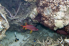 Sabre squirrelfish Sargocentron spiniferum (5816333087).jpg