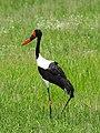 Saddle-billed stork Tarangire National Park (2015).jpg
