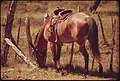 Saddle Horse Nibbling Grass, Awaiting the Return of Its Owner in the Area of Leakey, Texas, and San Antonio 05-1973 (3704382638).jpg
