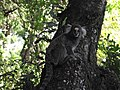 Sagui de tufo Branco descendo de uma árvore.JPG