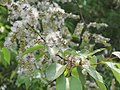 Salix tetrasperma - Indian Willow at Bavali (3).jpg