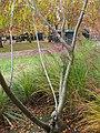 Salix udensis 'Sekka' 01 by Line1.JPG