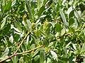 Salix wolfii (5027699626).jpg