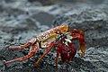 Sally Lightfoot Crab On Ascension Island (109662377).jpeg