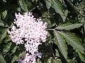 Sambucus nigra 105505614.jpg