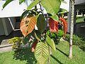 Sandoricum koetjape (Santol) leaves in RDA, Bogra 02.jpg