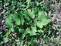 Sanguinaria canadensis, Sault Ste Marie 1.JPG