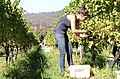 Sauvignon Blanc harvest.jpg