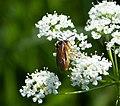 Sawfly (35632925226).jpg