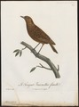 Saxicola formicivora - 1796-1808 - Print - Iconographia Zoologica - Special Collections University of Amsterdam - UBA01 IZ16200340.tif