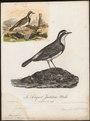 Saxicola pileata - 1796-1808 - Print - Iconographia Zoologica - Special Collections University of Amsterdam - UBA01 IZ16200314.tif
