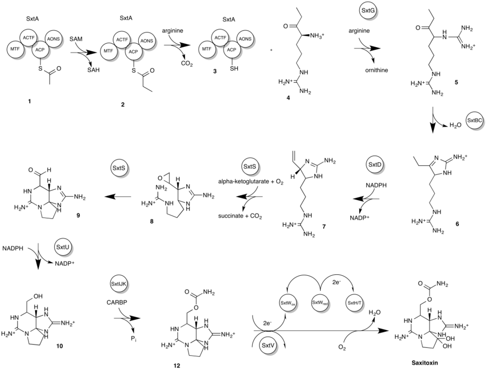 The proposed biosynthetic pathway of saxitoxin in cyanobacteria