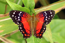 Scarlet peacock (Anartia amathea) male.JPG