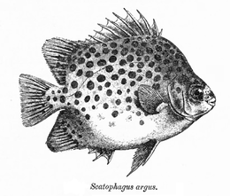 (Scatophagus argo)