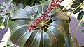 Schefflera Actinophylla, Waikiki.jpg