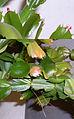 Schlumbergera growth.jpg