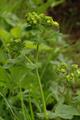 Schotten Rudingshain Schotten Alchemilla vulgaris a.png