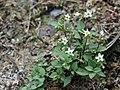 """Schwarzer Nachtschatten """"Solanum nigrum""""–20190902.jpg"""