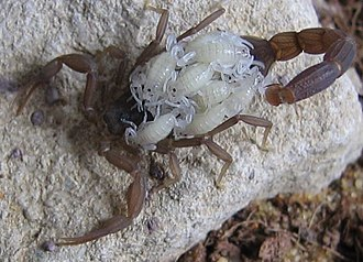Chelicerata - Female scorpion Compsobuthus werneri carrying its young (white)