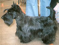 Scottish Terrier in European Winner show 2006.jpg