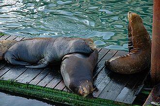 Yaquina Bay - Male California sea lions in Yaquina Bay