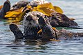 Sea Otters (Enhydra lutris), from a raft of about 15, (8625968237).jpg
