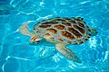 Sea Turtle in Marathon, Florida.jpg