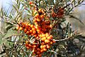 Sea buckthorn - Flickr - S. Rae.jpg