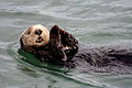 Sea otter at moss landing.jpg