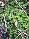 Selaginella apoda iN-11291436.jpg